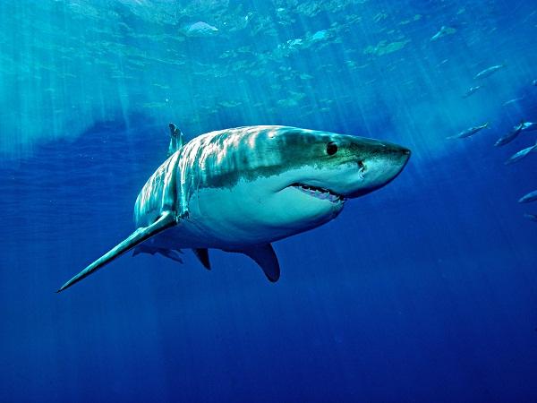 Giải mã giấc mơ thấy cá mập