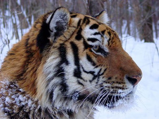 Mơ thấy hổ có ý nghĩa điềm báo gì, có nguy hiểm không