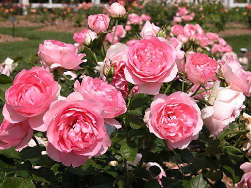Mơ thấy hoa hồng đánh xổ số con gì chuẩn xác