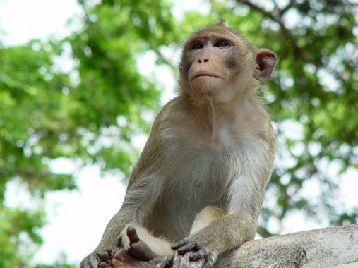 Nằm mơ thấy khỉ – Ý nghĩa điềm báo của giấc mơ thấy khỉ
