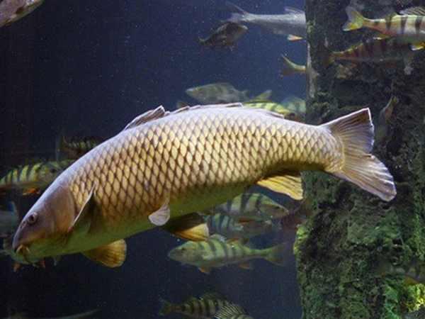 Điềm báo của giấc mơ thấy cá chép