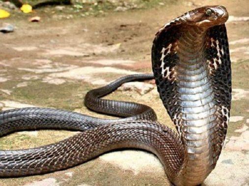 Mơ thấy rắn hổ mang – Giải mã điềm báo giấc mơ thấy rắn hổ mang