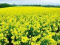 Mơ thấy hoa cải đánh con gì? Điềm báo trước tốt hay xấu